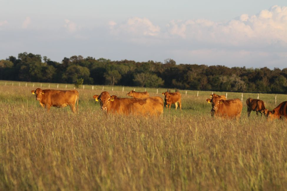2015 Replacement Herd Dams